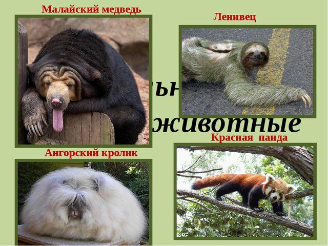 Удивительные животные Малайский медведь Ангорский кролик Красная панда Ленивец