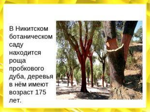 В Никитском ботаническом саду находится роща пробкового дуба, деревья в нём и