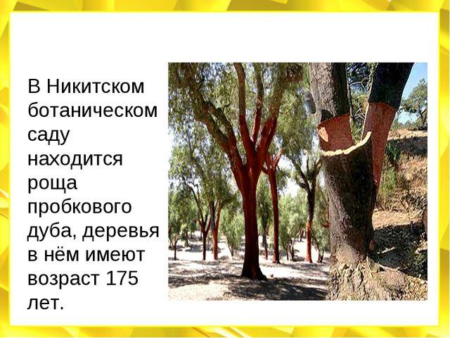 В Никитском ботаническом саду находится роща пробкового дуба, деревья в нём и...