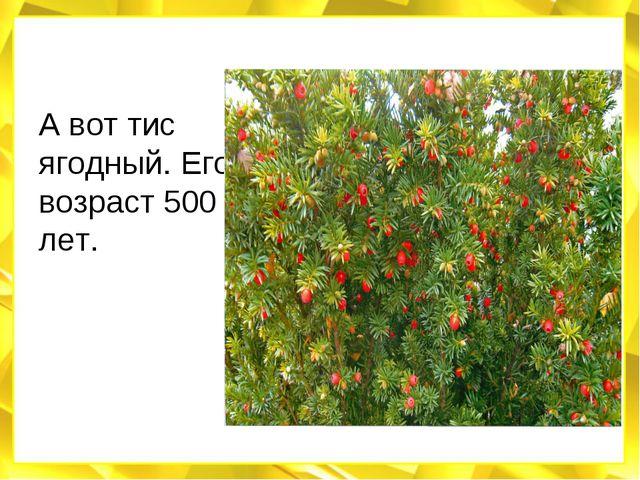 А вот тис ягодный. Его возраст 500 лет.