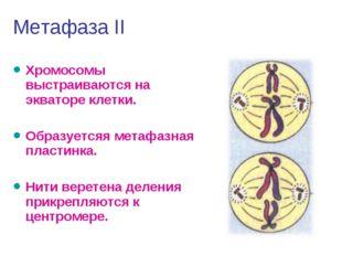 Метафаза II Хромосомы выстраиваются на экваторе клетки. Образуетсяя метафазна