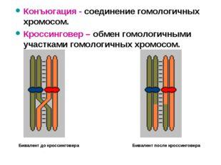 Конъюгация - соединение гомологичных хромосом. Кроссинговер – обмен гомологич