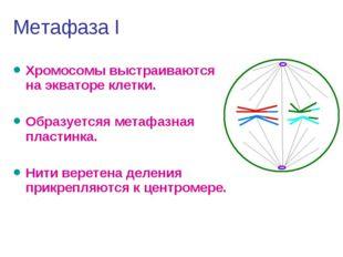 Метафаза I Хромосомы выстраиваются на экваторе клетки. Образуетсяя метафазная