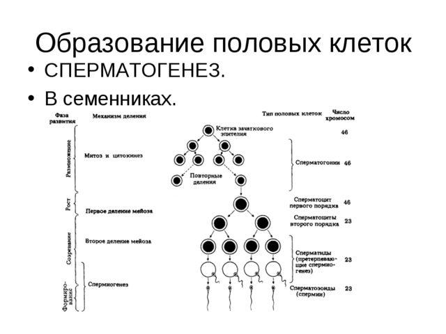 Образование половых клеток СПЕРМАТОГЕНЕЗ. В семенниках.