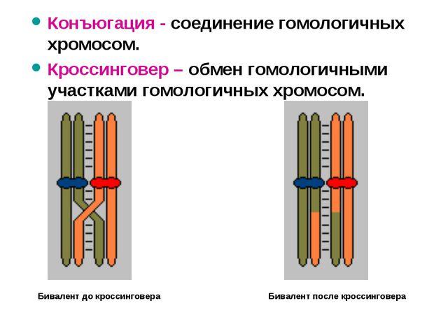 Конъюгация - соединение гомологичных хромосом. Кроссинговер – обмен гомологич...