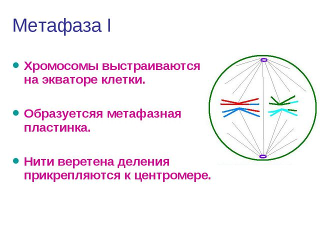 Метафаза I Хромосомы выстраиваются на экваторе клетки. Образуетсяя метафазная...