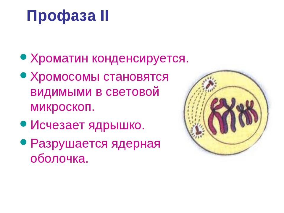 Профаза II Хроматин конденсируется. Хромосомы становятся видимыми в световой...