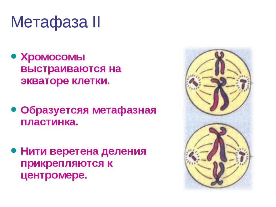 Метафаза II Хромосомы выстраиваются на экваторе клетки. Образуетсяя метафазна...