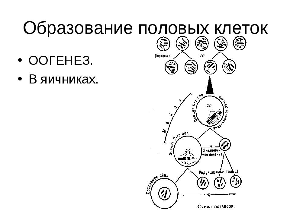 Образование половых клеток ООГЕНЕЗ. В яичниках.