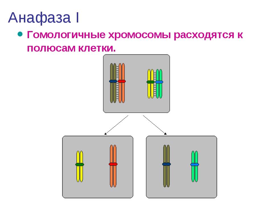 Анафаза I Гомологичные хромосомы расходятся к полюсам клетки.