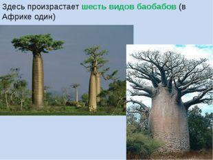 Здесь произрастает шесть видов баобабов (в Африке один)