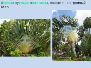 Дерево путешественников, похожее на огромный веер.