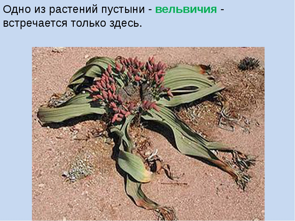 Одно из растений пустыни - вельвичия - встречается только здесь.