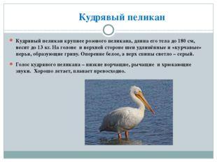Кудрявый пеликан Кудрявый пеликан крупнее розового пеликана, длина его тела