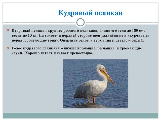 Кудрявый пеликан Кудрявый пеликан крупнее розового пеликана, длина его тела...