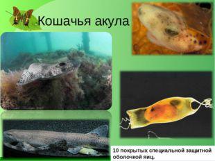 Кошачья акула 10 покрытых специальной защитной оболочкой яиц.