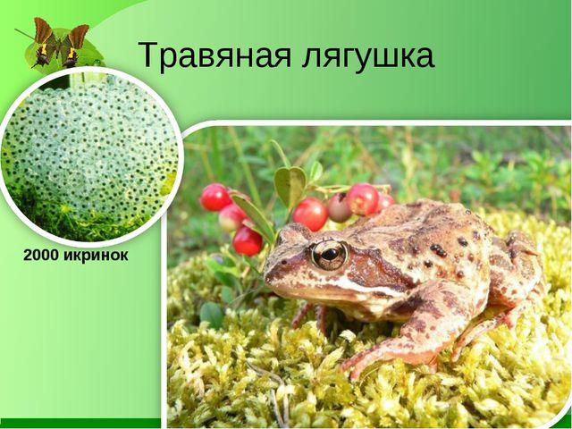 Травяная лягушка 2000 икринок
