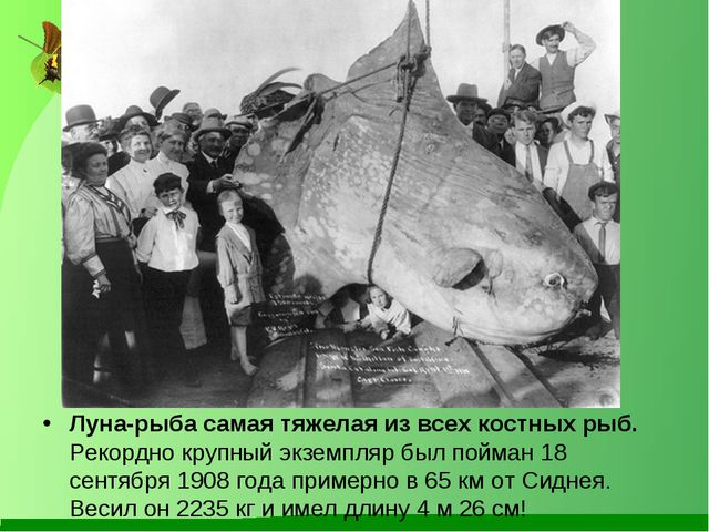 Луна-рыба самая тяжелая из всех костных рыб. Рекордно крупный экземпляр был...