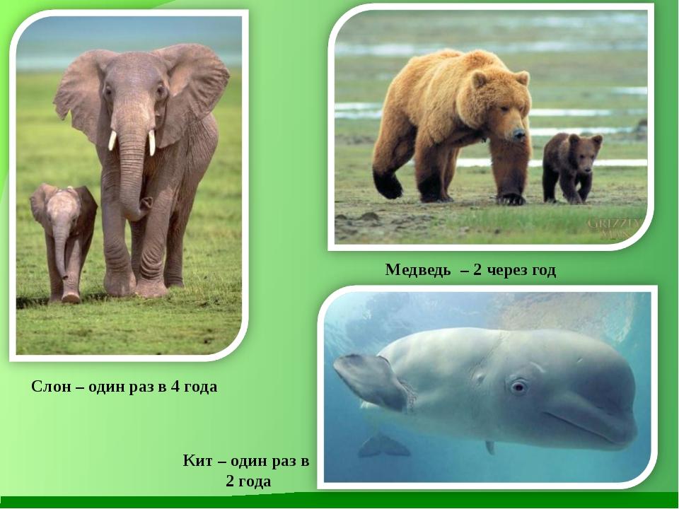 Слон – один раз в 4 года Медведь – 2 через год Кит – один раз в 2 года