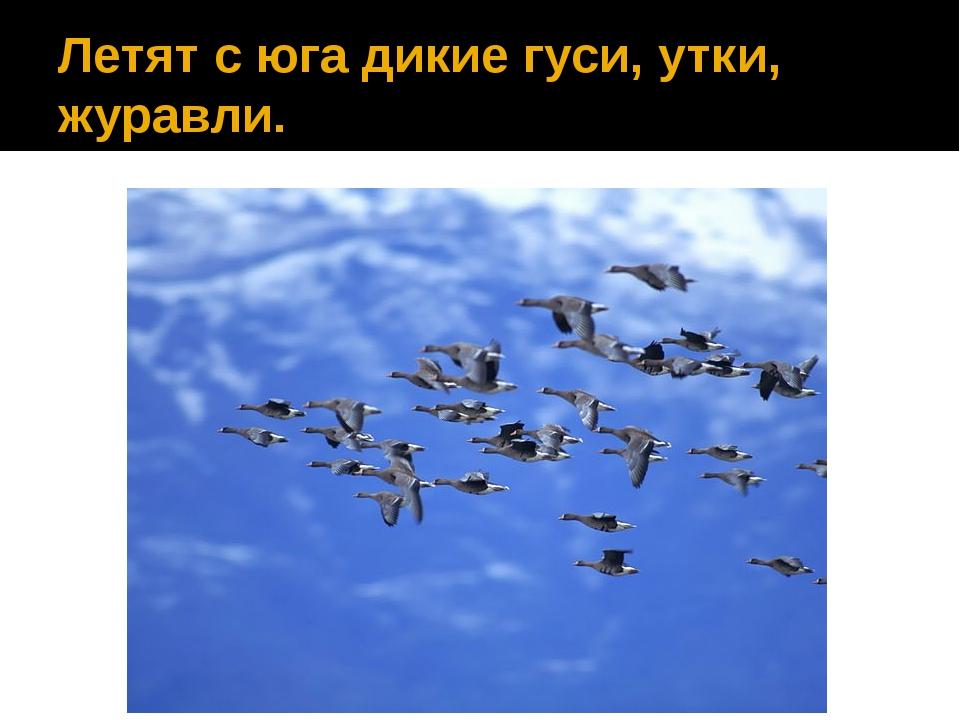 Летят с юга дикие гуси, утки, журавли.