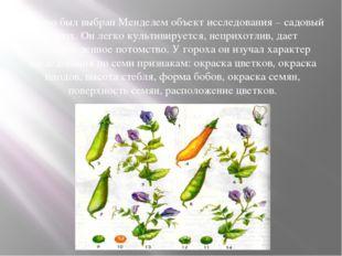 Удачно был выбран Менделем объект исследования – садовый горох. Он легко куль