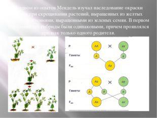 В одном из опытов Мендель изучал наследование окраски семян при скрещивании р