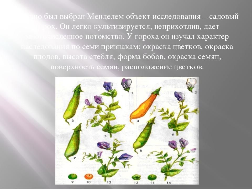 Удачно был выбран Менделем объект исследования – садовый горох. Он легко куль...