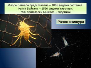 Флора Байкала представлена – 1085 видами растений. Фауна Байкала – 1550 видам