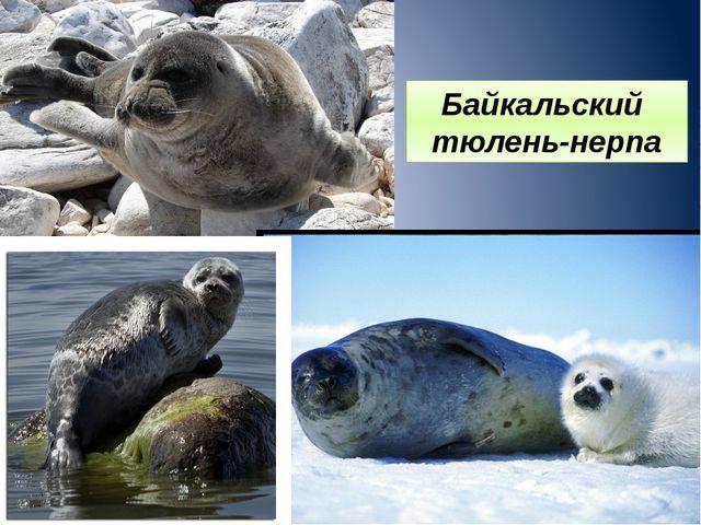 Байкальский тюлень-нерпа