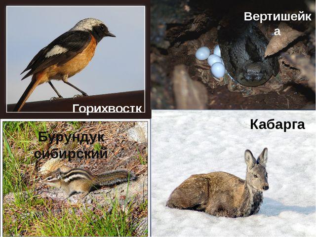 Кабарга Горихвостка Вертишейка Бурундук сибирский