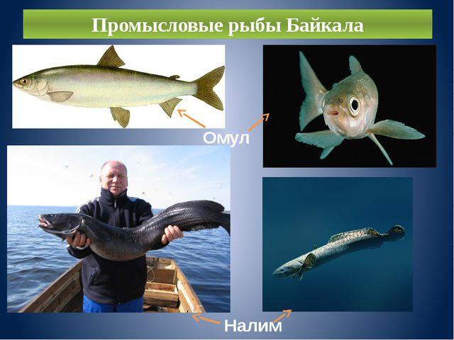 Промысловые рыбы Байкала Омуль Налим
