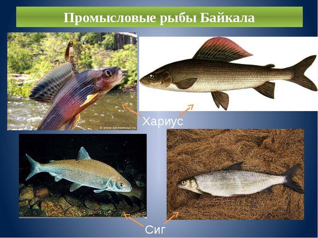 Промысловые рыбы Байкала Хариус Сиг