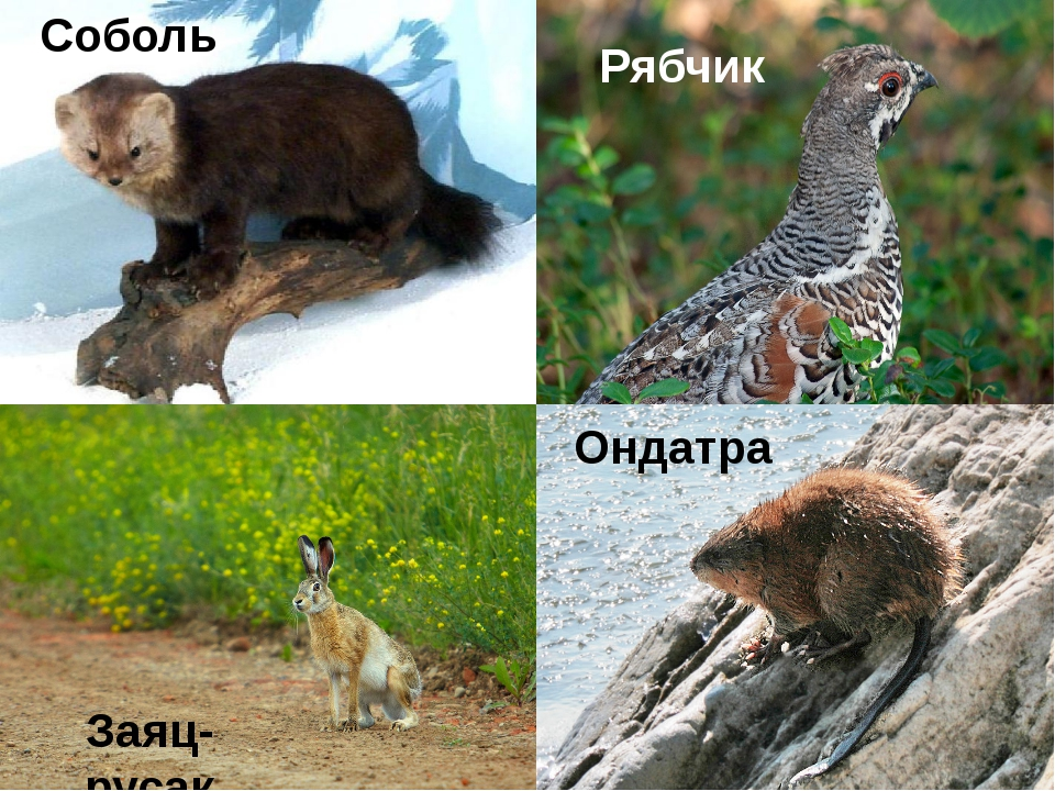 Ондатра Рябчик Заяц-русак Соболь