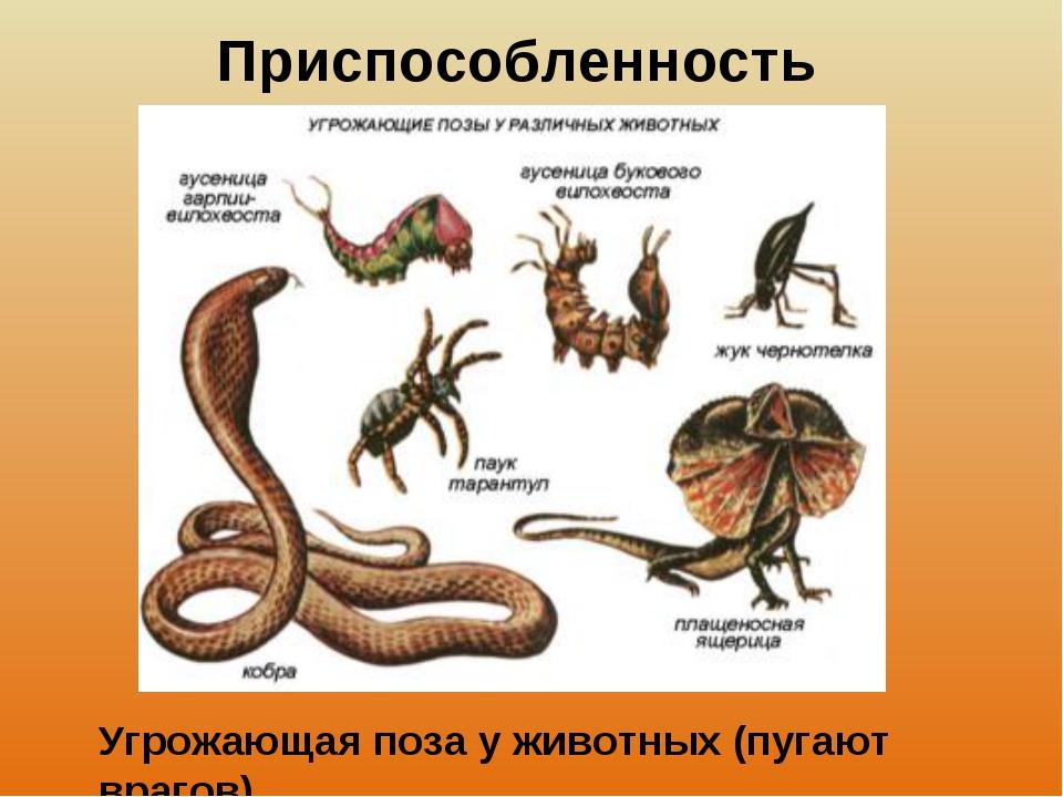 Приспособленность Угрожающая поза у животных (пугают врагов)