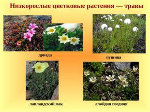 Низкорослые цветковые растения — травы пушица лапландский мак ллойдия поздняя