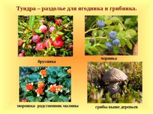 брусника черника морошка- родственник малины Тундра – раздолье для ягодника
