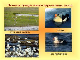 Летом в тундре много перелетных птиц: гуси, утки, кулики. Гага гребенушка гаг