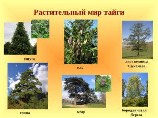 Растительный мир тайги пихта сосна лиственница Сукачева кедр ель бородавчатая
