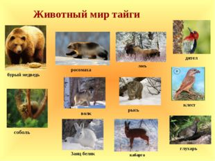 Животный мир тайги лось росомаха бурый медведь рысь Заяц беляк кабарга соболь