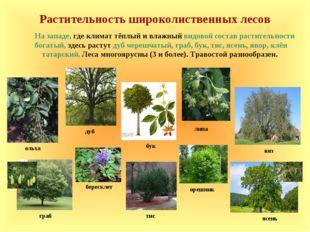 Растительность широколиственных лесов дуб липа ольха На западе, где климат тё