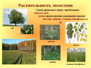Растительность лесостепи Среди древесных пород преобладают береза и дуб, трав