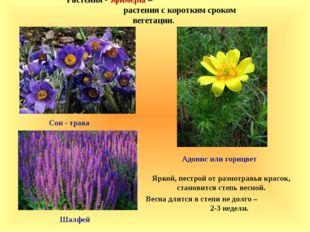 Растения - эфимеры – растения с коротким сроком вегетации. Яркой, пестрой от