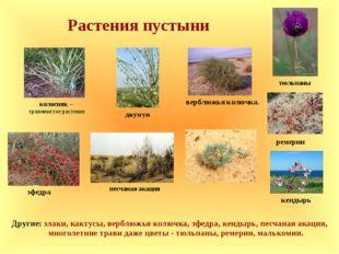 Растения пустыни эфедра кендырь ремерии Другие: злаки, кактусы, верблюжья кол