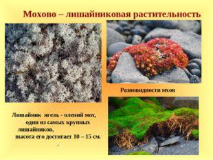 Мохово – лишайниковая растительность Лишайник ягель - олений мох, один из сам