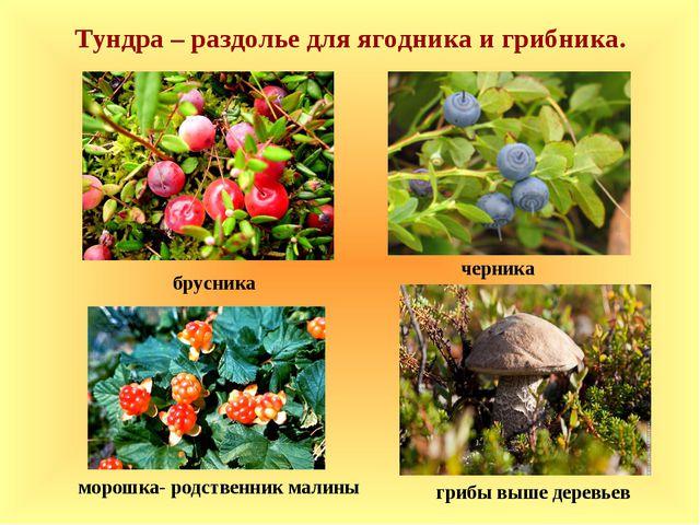 брусника черника морошка- родственник малины Тундра – раздолье для ягодника...