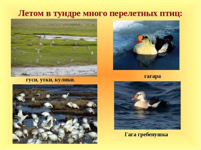 Летом в тундре много перелетных птиц: гуси, утки, кулики. Гага гребенушка гаг...