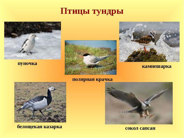 Птицы тундры полярная крачка пуночка камнешарка сокол сапсан белощекая казарка