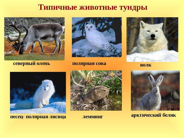 Типичные животные тундры арктический беляк лемминг волк песец- полярная лисиц...