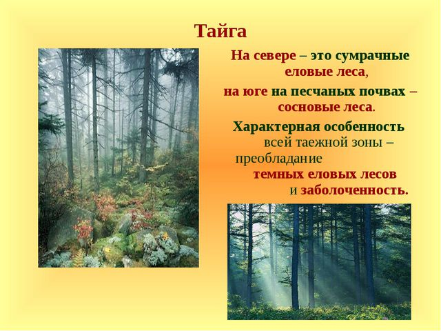 Тайга На севере – это сумрачные еловые леса, на юге на песчаных почвах – сосн...