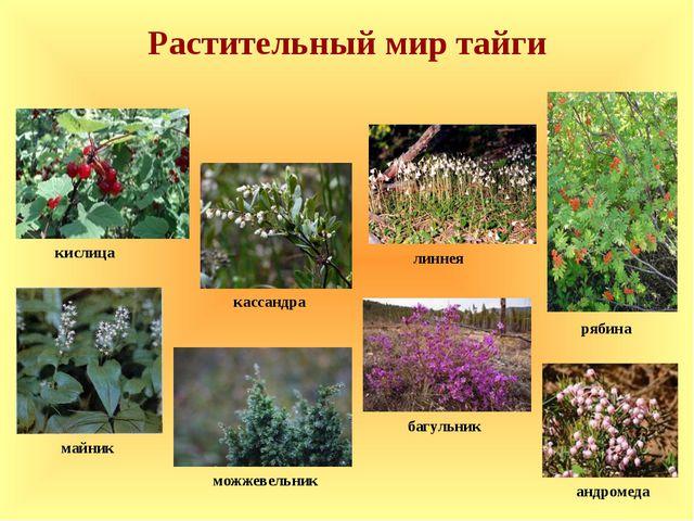 Растительный мир тайги кислица линнея майник багульник андромеда кассандра ря...